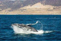 Durante años la ballena gris ha sido fiel visitante en invierno de la península de Baja California, buscando sus cálidas aguas para que sus ballenatos nazcan. Con su presencia otorga a los Bajacalifornianos orgullo y satisfacción, ya que la ballena gris es considerada mexicana a nivel internacional. Visita #Ensenada #BajaCalifornia y disfruta de este espectáculo natural Conoce más visitando www.descubrebajacalifornia.com #FelizMartes #BajaCalifornia #Sea #Mar #Ballenas Aventura por Suri…