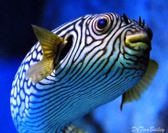 Reticulated Puffer