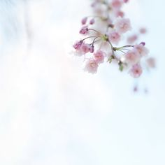 Tess Atkinson cherry blossom photo