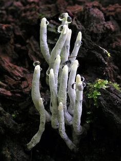 'Skeleton Fingers' ~SauriaMami/Carla Wick  Possibly Cordycepts xylaria....a fungi that grows from insects buried in the wood.