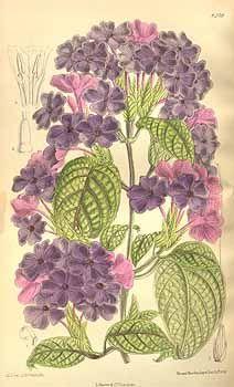 6963 Eranthemum wattii (Beddome) Stapf / Curtis's Botanical Magazine, t. 8232-8291, vol. 135 [ser. 4, vol. 5]: t. 8239 (1909) [M. Smith]