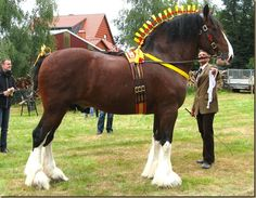 The Shire horse is a breed of draught horse (BrE) or draft horse (AmE). The breed comes in many colours, including black, bay and grey. They are a tall breed, with mares standing 16 hands (64 inches, 163 cm) and over and stallions standing 17 hands (68 inches, 173 cm) and over. The breed has an enormous capacity for weight pulling, and Shires have held the world records for both largest overall horse and tallest horse at various times. Img: Shire Horse Show 2011 | Pferdepension Traupe