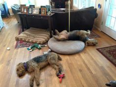 Airedale Sleep Position # 225 & 226 Welsh Terrier, Airedale Terrier, Fox Terrier, Wire Haired Terrier, Best Puppies, Cute Cats And Dogs, Funny Dogs, Dog Cat, Cute Animals