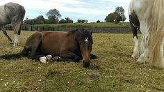 Sierra enjoying a lie down sfter her first show jumping competition