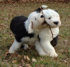 Two Adorable Little Old English Sheepdog Puppies playing with a Stick - Aww, I want!
