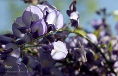 kohalmitamas:  Wisteria 327 by MicheleWambaugh
