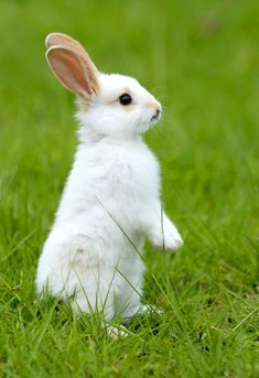 Symbolic Rabbit Meanings and Rabbit Totem on Whats-Your-Sign Cute Baby Bunnies, Cute Baby Animals, Animals And Pets, Funny Animals, Big Bunny, Rabbit Totem, Pet Rabbit, Rabbit Pictures, Animal Pictures
