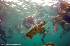 Riviera Maya Sea Turte swimming by reef