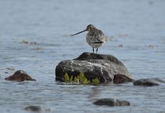 Every autumn the bar-tailed godwit undertakes an eight-day journey from Alaska to New Zealand. The bird flies non-stop, without once breaking the journey to rest or eat. Then when spring comes, the bar-tailed godwit makes the 11,000-kilometre journey back to Alaska...