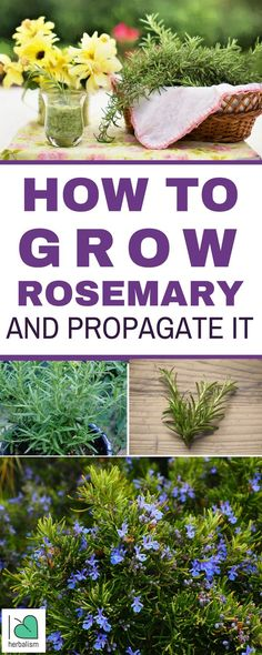 Fragrant, delicious rosemary is a wonderful herb to grow on your own, either indoors in a pot or outside in your garden. Rosemary is generally not hard to grow, and once it has taken root, this perennial, woody shrub will thrive for years. Read on to learn how to plant, care for, and propagate rosemary.