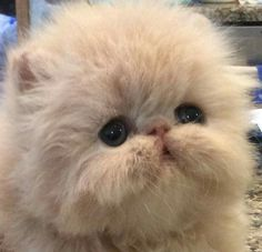 Carmen Lamonica and Kate Preston here is Glamazon at 3 weeks! #PersianCat Cute Cartoon Animals, Cute Baby Animals, Animals And Pets, Funny Animals, Farm Animals, Kittens And Puppies, Cute Cats And Kittens, Kittens Cutest, Pretty Cats