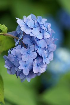 Blue hydrangea - I should plant some in my backyard.  I just love the look.