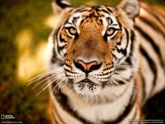 NATIONAL GEOGRAPHIC - Great photo of a tiger
