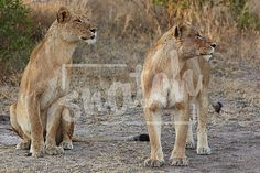 Young lion cubs resting in the early morning light after a night of hunting in the African bush Snatch Stock Images - Stock Photography | Vectors | Graphics | Videos