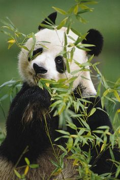 Cute Baby Animals, Animals And Pets, Wild Animals, Animal Pictures, Cute Pictures, Animals Photos, Beautiful Pictures, The Bear Family, Baby Panda Bears