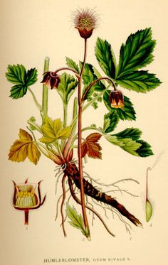 geum rivale / humleblomster