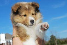 Sheltie puppies-Now you STOP that! BellaRose Shelties