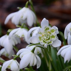 "Polubienia: 564, komentarze: 16 – Mette Fauerskov (@mettebfauerskov) na Instagramie: ""Have a nice saturday. I am looking foreward to enjoy some work in my garden today 🌱 #galanthus…"""