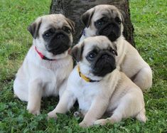 Cute Pug Puppies #Pug