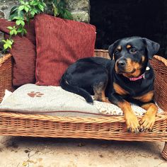 """""""When all of the best napping spots are taken, you settle for the next best place and daydream. 19 Reasons Why Rottweilers Are The Only Friends You'll Ever Need. Photo Credit by: @hilbrae.rescue.kennels / Instagram"""
