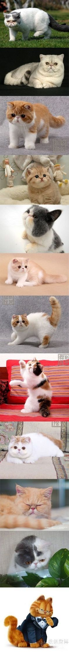 One day, I'd like a Persian kitteh again