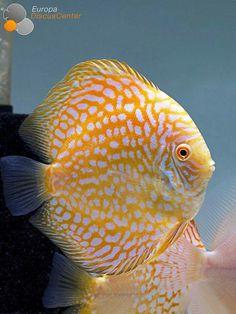 Discus Fish - Beautiful orange/apricot/yellow.