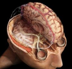 Superior view of the brain revealing the visual pathway and superior sagittal sinus. Electrical nerve impulses travel from the eyes to the occipital lobe in the back of the brain via millions of nerves fibers that make up the visual pathway.