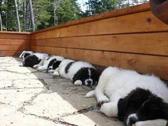 Newfoundland puppies finding a slice of shade. Huge Dogs, Giant Dogs, I Love Dogs, Cute Puppies, Dogs And Puppies, Doggies, Animals And Pets, Cute Animals, Terra Nova