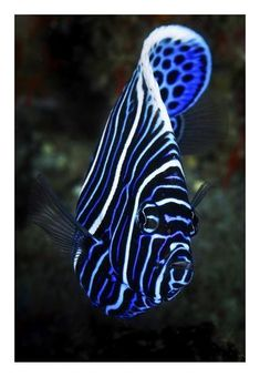 size: Giclee Print: Emperor Angelfish by Barathieu Gabriel : This exceptional art print was made using a sophisticated giclée printing process, which deliver pure, rich color and remarkable detail. Saltwater Aquarium Fish, Saltwater Tank, Big Aquarium, Reef Aquarium, Freshwater Aquarium, Salt Water Fish, Salt And Water, Fresh Water, Underwater Creatures