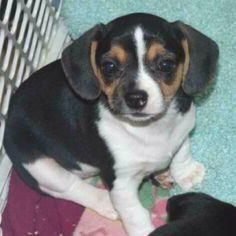 Cheagle - a mix between chihuahua & beagle. <3