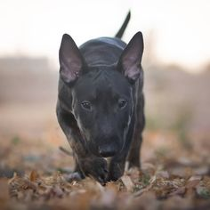 English Bull Terriers, Beagles, 3 Months, Wolves, Character Inspiration, Dog Breeds, Iphone, Wild Animals, Romans