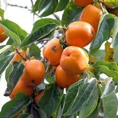 Hachiya Persimmon Tree, Persimmon Trees, Free Persimmon Tree Video, Low Persimmon Tree Price http://www.tytyga.com/Hachiya-Persimmon-Tree-p/hachiya-persimmon-tree.htm