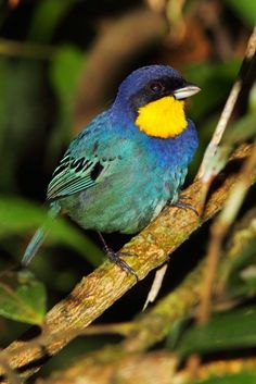 Purplish-mantled tanagers are found in Colombia and Ecuador