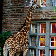 "<a href=""http://www.tamimiea.com/giraffe-manor/index.html"" target=""_blank"">Giraffe Manor</a> in Nairobi, Kenya"