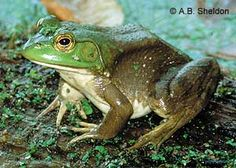 bullfrog photo