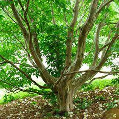 stewartia theaceae   descrizione grande arbusto o albero originario del giappone e della ...