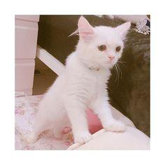 たれ目ちゃん♡ #ラガマフィン #ラガマフィン部 #ラガマフィンいぶ #ラガマフィンイブ #仔猫 #子猫 #にゃんこ #にゃんこ部 #家猫 #にゃんにゃん #猫 #癒し #ねこスタグラム #cat #ragdoll  #ragamuffin #家猫  #猫様 #愛猫 #愛猫家 #猫好き #ねこさま #ねこ #家族 #多頭飼い #白猫 #しろねこ #白ねこ