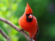 "500px / Photo ""Northern Cardinal"" by cheryl smith"