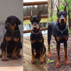 Doberman Pinscher Photo Series-wish they had labels for how old the dog was when these were taken!
