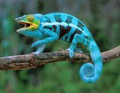 Camaleão-pantera (Furcifer pardalis) / Panther chameleon (Furcifer pardalis)