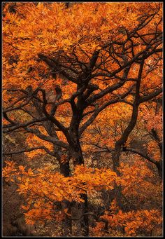 Autumn young oak tree, in Old River reserve - Balkan mountains, Bulgaria