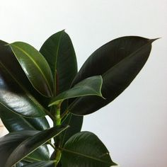 Baby rubber plant for clean j door air Green Plants, Air Plants, Indoor Plants, Plant Aesthetic, Flower Aesthetic, Ficus, Trees To Plant, Plant Leaves, Plants Are Friends