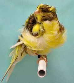 Getting to know the various breeds of canaries so you know which one suits your needs.