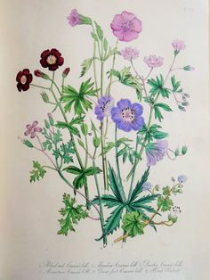 Mrs Loudon 1846 Hand Coloured Antique Botanical by PaperPopinjay
