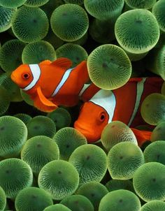 Clownfish did have one pre-Nemo claim to fame: they exploit their immunity to sea anemone toxins by hiding out in the oceanic invertebrates' poisonous tentacles. Depending on the color of the anemone, this attribute provides nature photographers with a goldmine of imaging opportunities. http://www.nanoreefblog.com/
