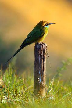 lensblr-network:Little Green Bee-eater by fahadee.tumblr.com
