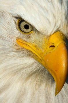 The steely eye of a bald eagle portrait