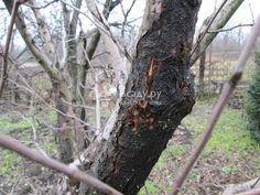 Черный рак (лат. Shaeropsis malorum Peck.)
