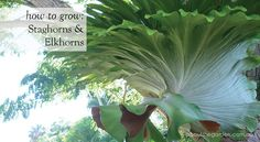 The spectacular staghorn fern is an epiphyte or 'air plant', which grows without soil. Native to Aus Australian Plants, Australian Garden, Patio Plants, Cool Plants, Tropical Landscaping, Tropical Plants, Small Gardens, Outdoor Gardens, Rainforest Plants