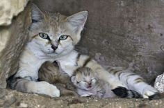 Sand Cat with Kittens - You have seen, now go away! My babies need their rest. They are very young. Such wary eyes.